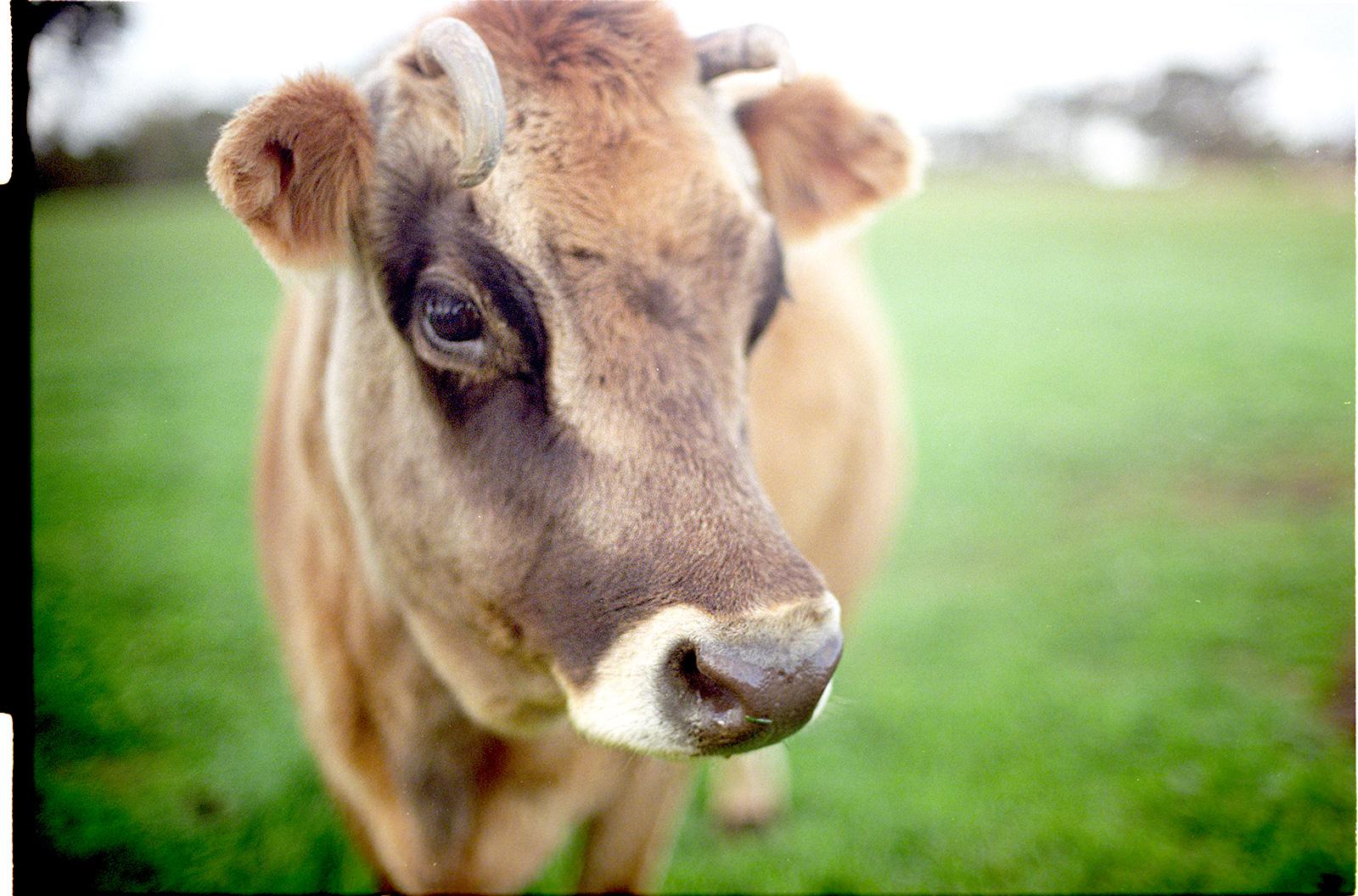 close-cow